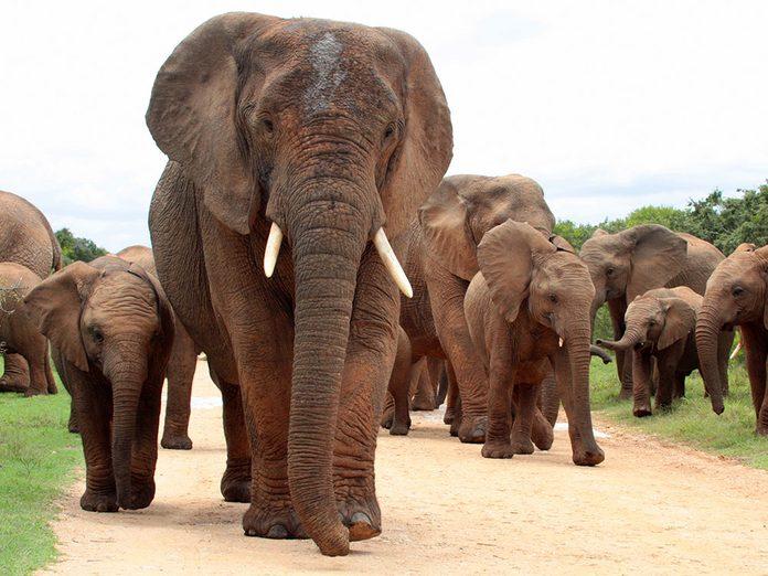 Faits insolites: les éléphants femelles dirigent la harde.