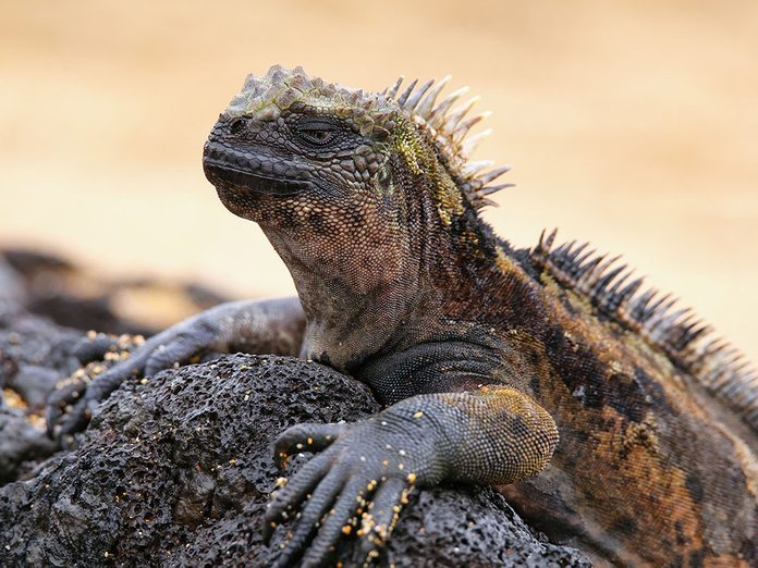 Faits insolites: l'iguane marin peut retenir son souffle pendant 15 minutes.