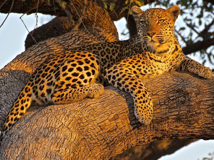 Faits insolites: le léopard est le plus répandu des félins.