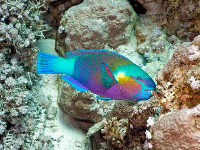 Faits insolites: le poisson-perroquet dort dans un cocon fait de son propre mucus.