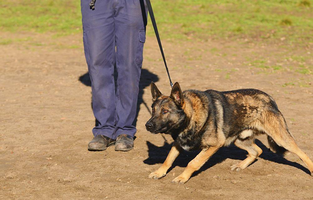 Le langage corporel des chiens dominants.