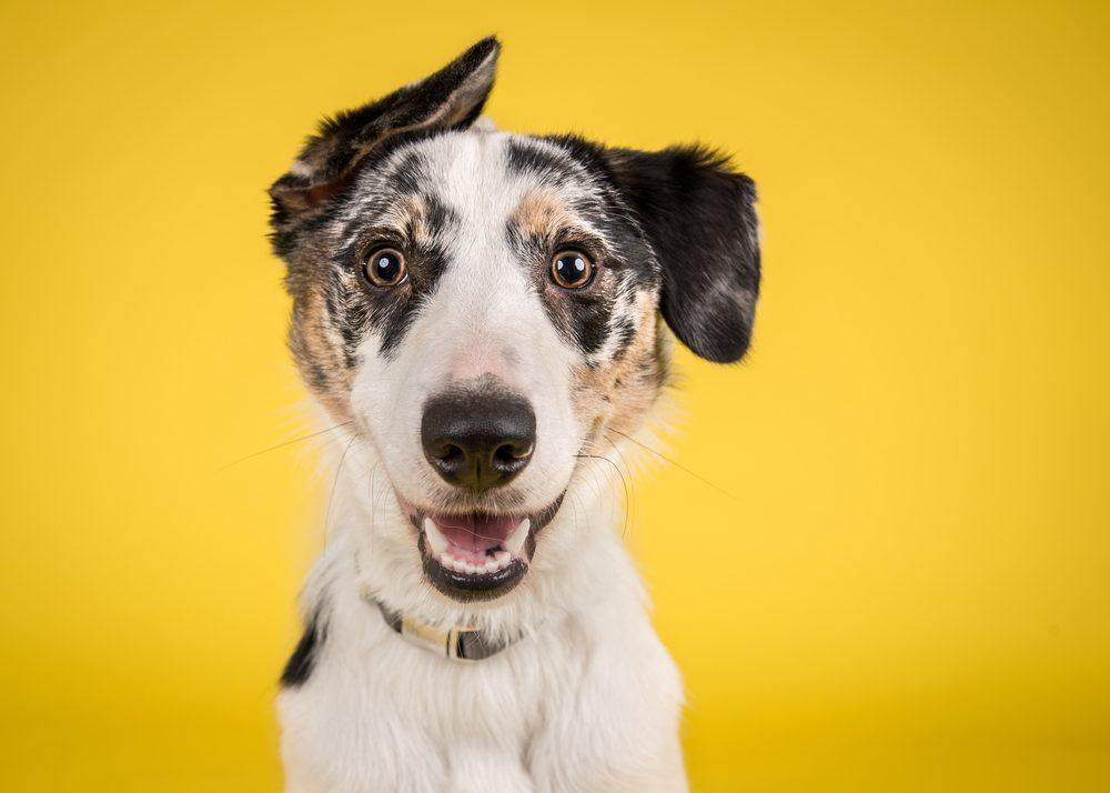 Le langage corporel des chiens excités.