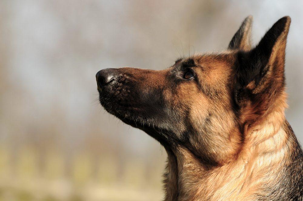 Le langage corporel d'un chien sur ses gardes.