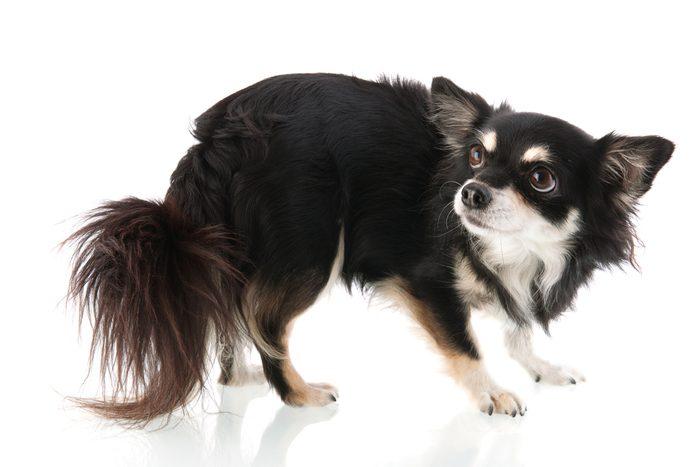 Le langage corporel des chiens qui ont peur.