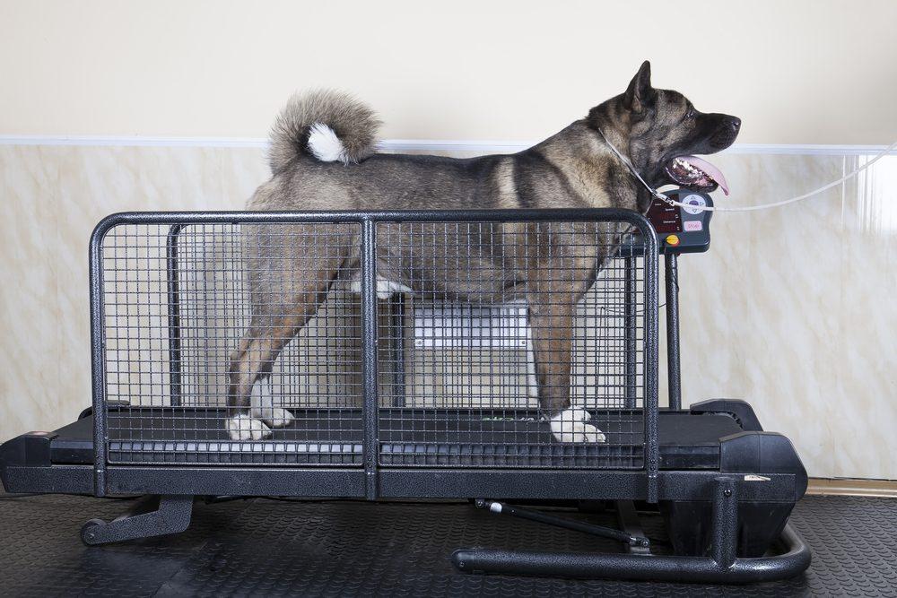 Un tapis roulant pour chiens.