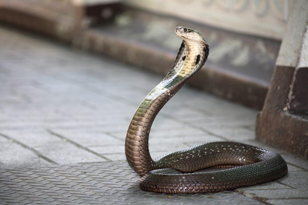 Un des aliments les plus étranges, le coeur de cobra