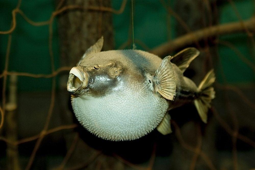 Un des aliments les plus étranges du globe, le fugu