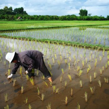 Du riz pour 200 millions de personnes