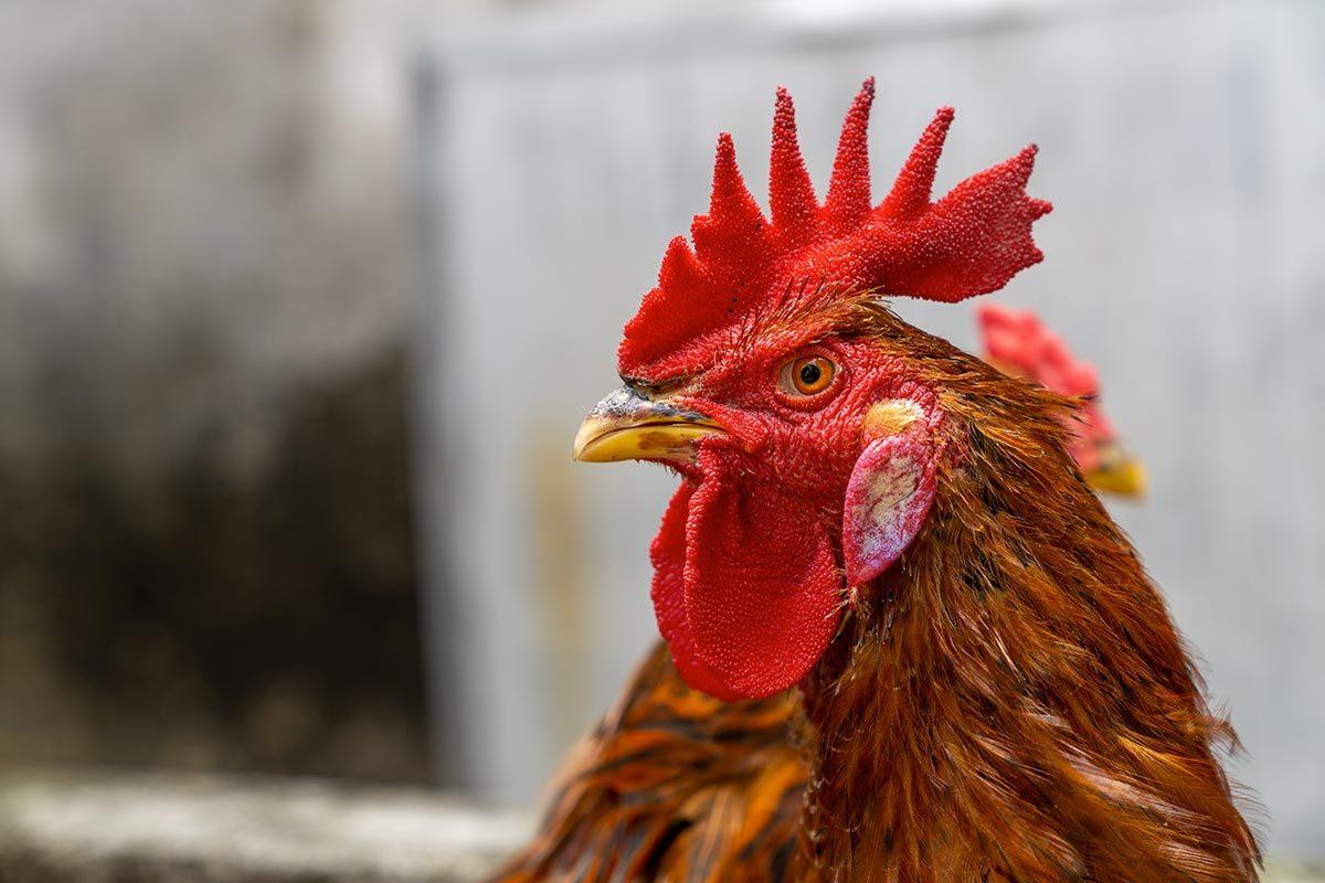 La crête de coq est un aliment étrange d'Europe.