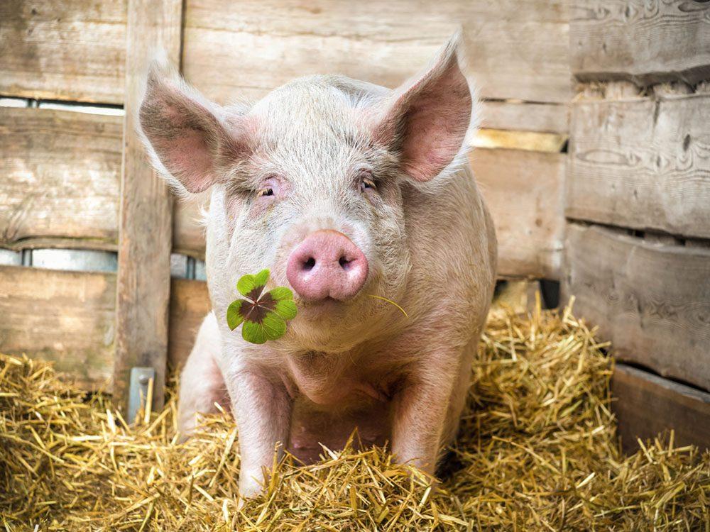 Idées insolites: les éleveurs de porcs donnent de la marijuana à manger à leurs cochons.