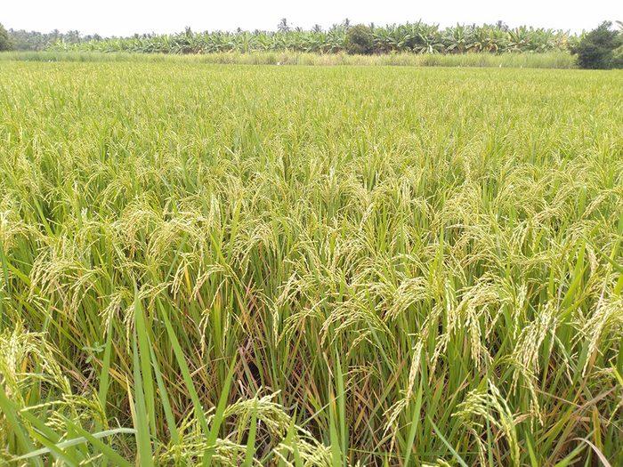 Le stipe à glumes membraneuses (Indian ricegrass) est l'un des grains anciens nutritifs et riches en protéines.