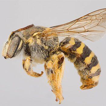 Mythe 1: Toutes les abeilles produisent du miel