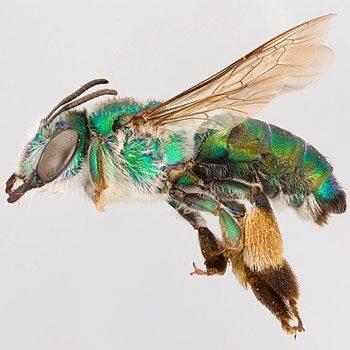 Mythe 2: Toutes les abeilles piquent