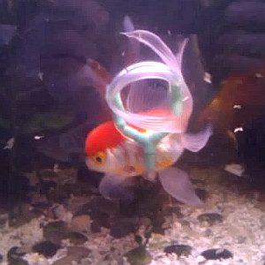Un gilet de sauvetage pour Einstein le poisson rouge