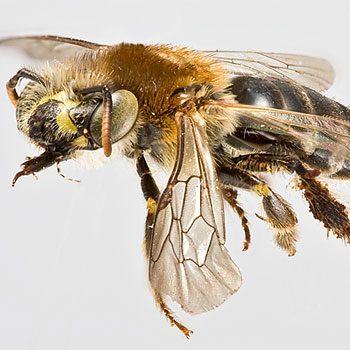 Mythe 4: Les abeilles vivent en colonies