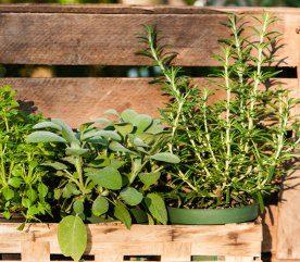 5- Plantez de l'ail, de la menthe et du romarin