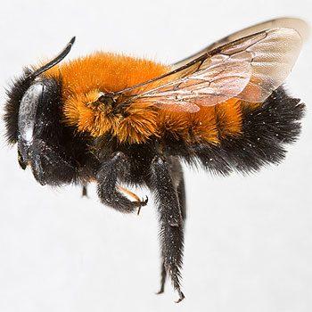 Mythe 5: Les abeilles travaillent fort