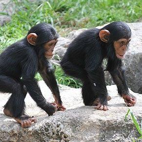10 façons de voler au secours des chimpanzés