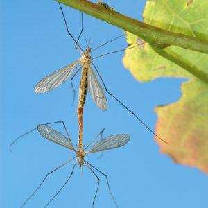 Copulation d'insectes