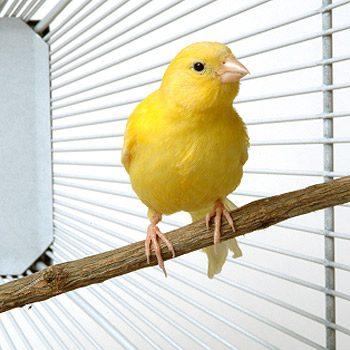 Quelle est la meilleure race d'oiseaux pour vous ?