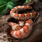 Le serpent de maïs