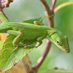 L'anolis vert