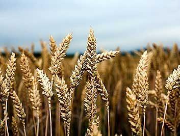 3. Farine de blé entier