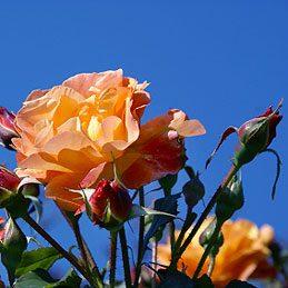 Nourrir les rosiers