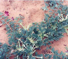 7. Les racines d'harpagophytum