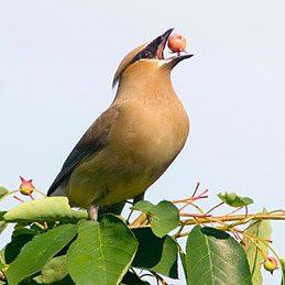 La viorne (Viburnum, nombreuses variétés et espèces)