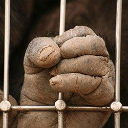 8. Adoptez un chimpanzé vivant dans un sanctuaire