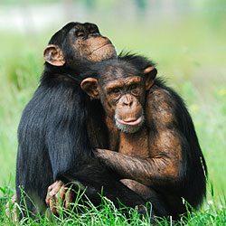9. Apprenez tout ce qu'il faut savoir sur les chimpanzés