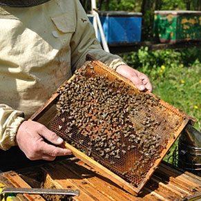 Des abeilles dans la ville