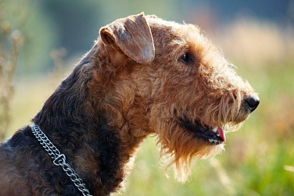 Le Airedale Terrier est l'un des chiens préférés des familles