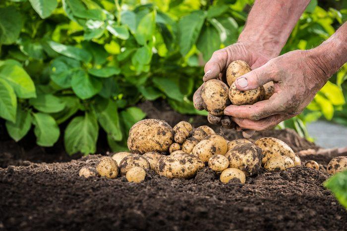 Transformez les pommes de terre cuites en les réfrigérant sera meilleur pour votre santé