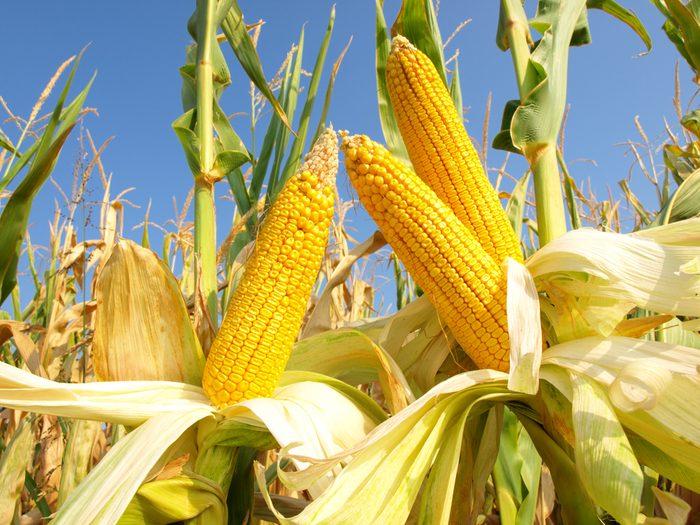 Choisissez les épis de maïs les plus jaunes pour plus de vitamines