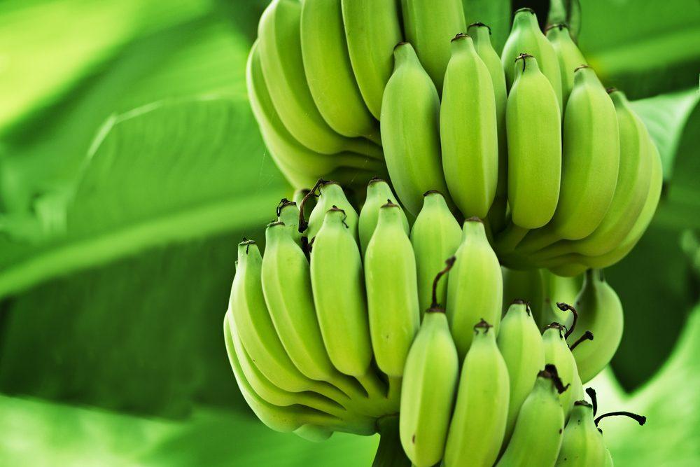 Les aliments riches en amidon résistant calment la faim plus longtemps
