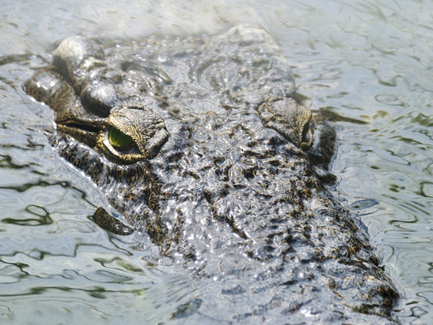 Les alligators des Everglades