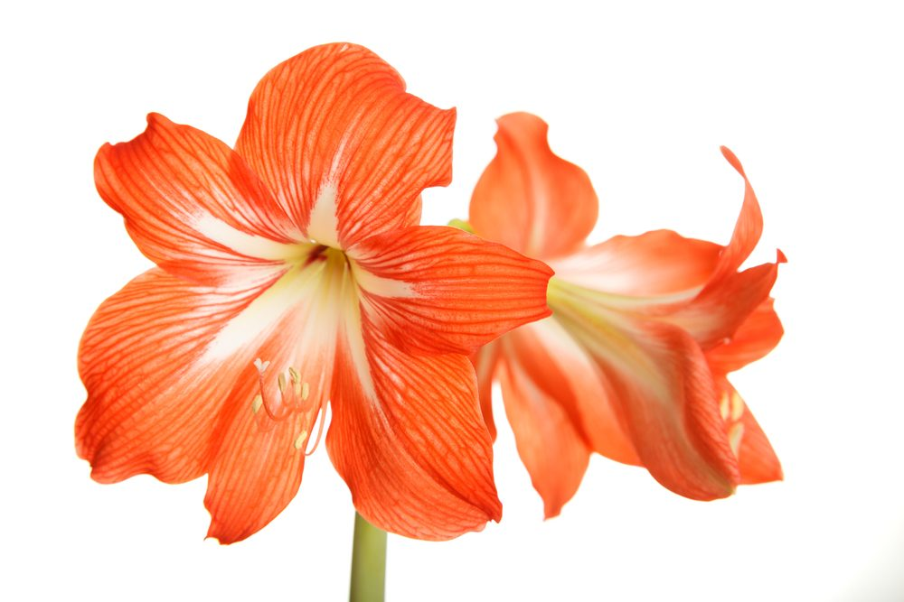 The amaryllis: pride of love that we live and desire to woo