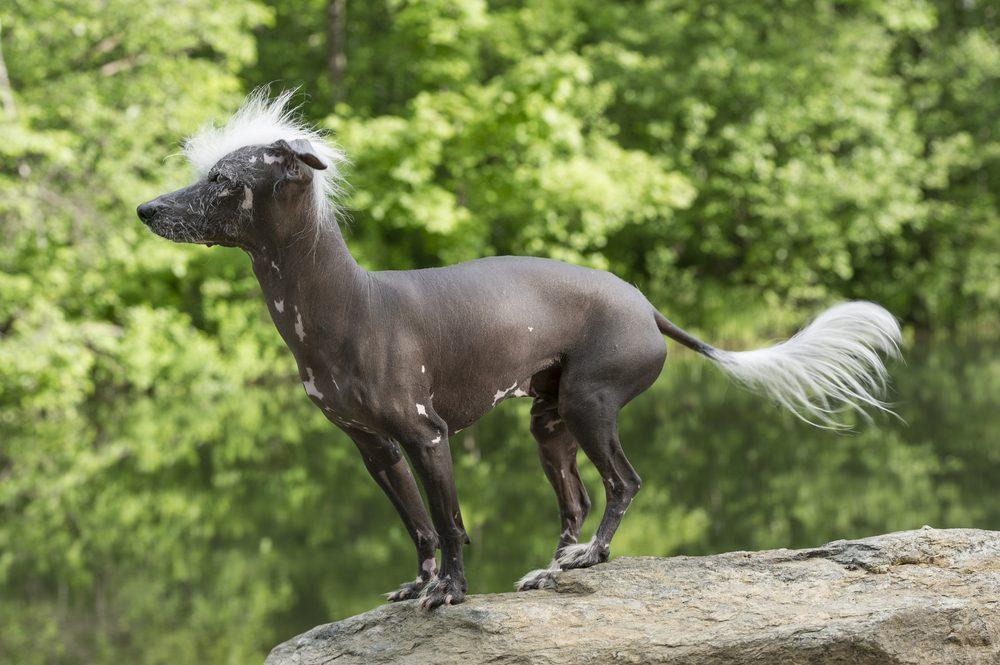 2. Parmi les animaux de compagnie sans fourrure, il y a le Chien chinois à crête