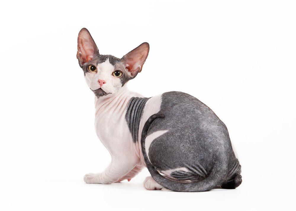 Allergies 7 animaux de compagnie sans poil - Enlever poil de chien voiture ...
