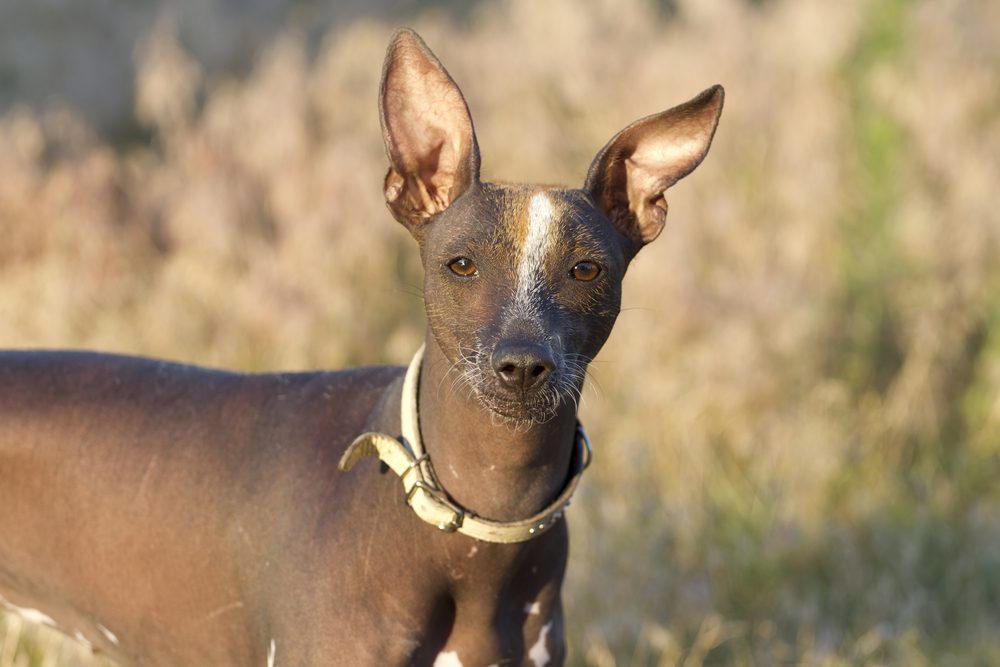 6. Le chien Xoloitzcuintl (ou Chien nu mexicain)