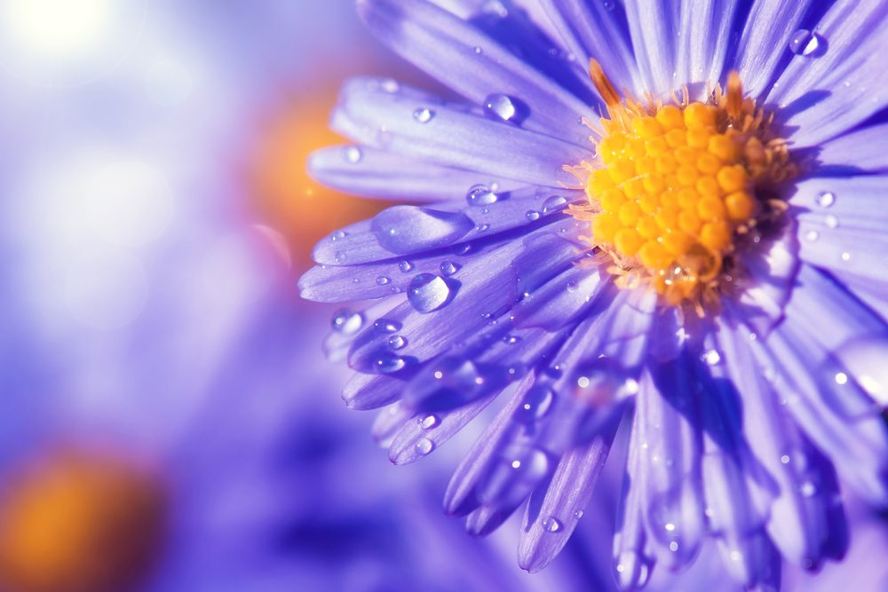 The aster to charm his heart