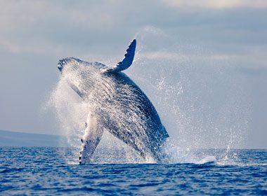 Heurté par une baleine de 40 tonnes