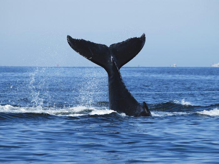 Si vous aimer observer le royaume animal, les baleines sont visibles en Islande.