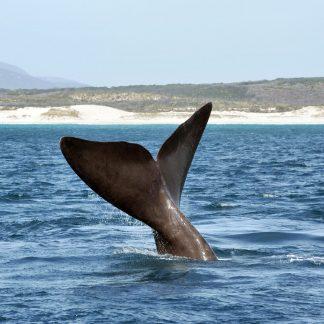 4. La baleine franche