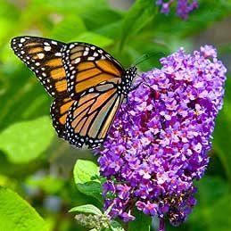 Buddleia ou arbre aux papillons (Buddleia)