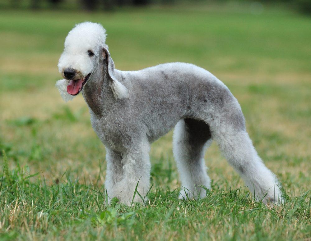 Le Bedlington Terrier