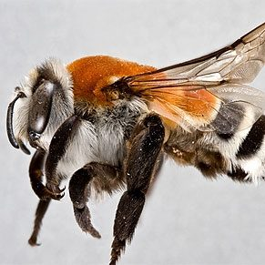 5 mythes sur les abeilles