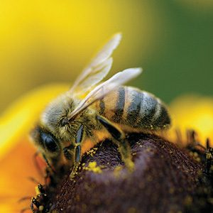 3. Des abeilles détectrices de mines antipersonnel